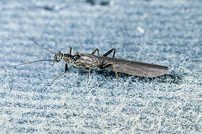 Paraleuctra occidentalis (Tiny Winter Black) Stonefly Adult