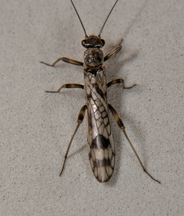 Female Zapada columbiana (Tiny Winter Black) Stonefly Adult from the N. Fk Touchet River in Washington