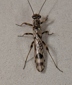 Female Zapada columbiana (Tiny Winter Black) Stonefly Adult