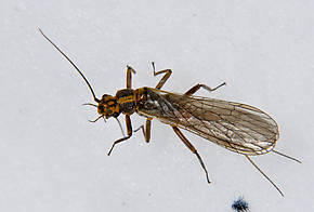 Male Isoperla fulva (Yellow Sally) Stonefly Adult