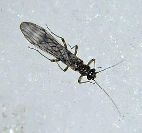 Zapada cinctipes (Tiny Winter Black) Stonefly Adult