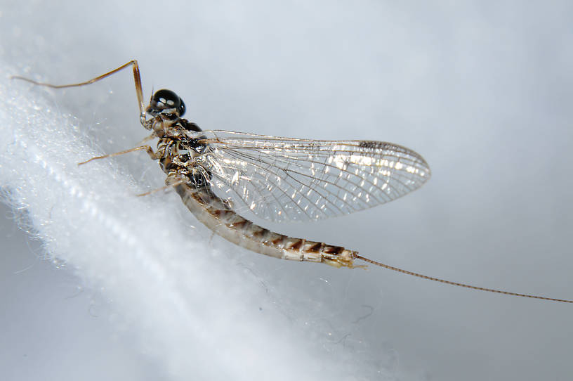 Male Ameletus vernalis (Brown Dun) Mayfly Spinner from the  Touchet River in Washington