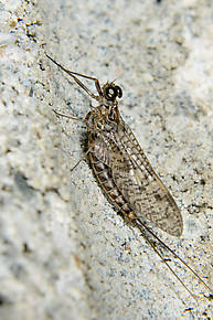 Male Ameletus vernalis (Brown Dun) Mayfly Dun