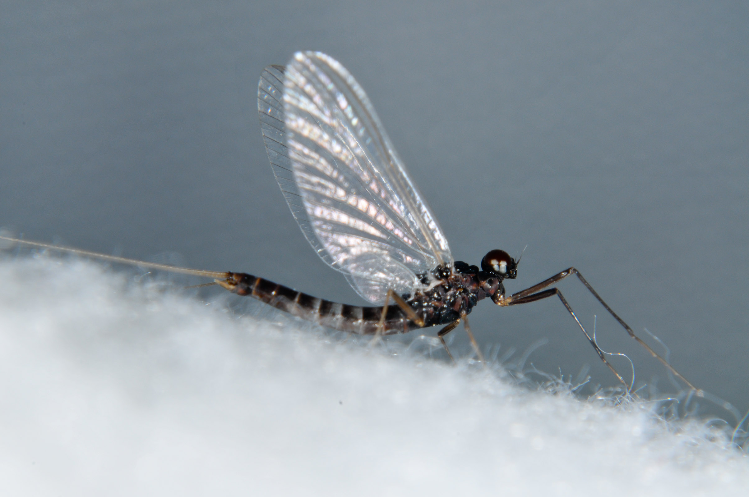 Male Neoleptophlebia heteronea (Blue Quill) Mayfly Adult from the  Touchet River in Washington
