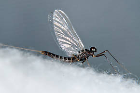 Male Neoleptophlebia heteronea (Blue Quill) Mayfly Adult