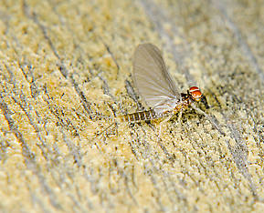 Male Baetis tricaudatus (Blue-Winged Olive) Mayfly Adult