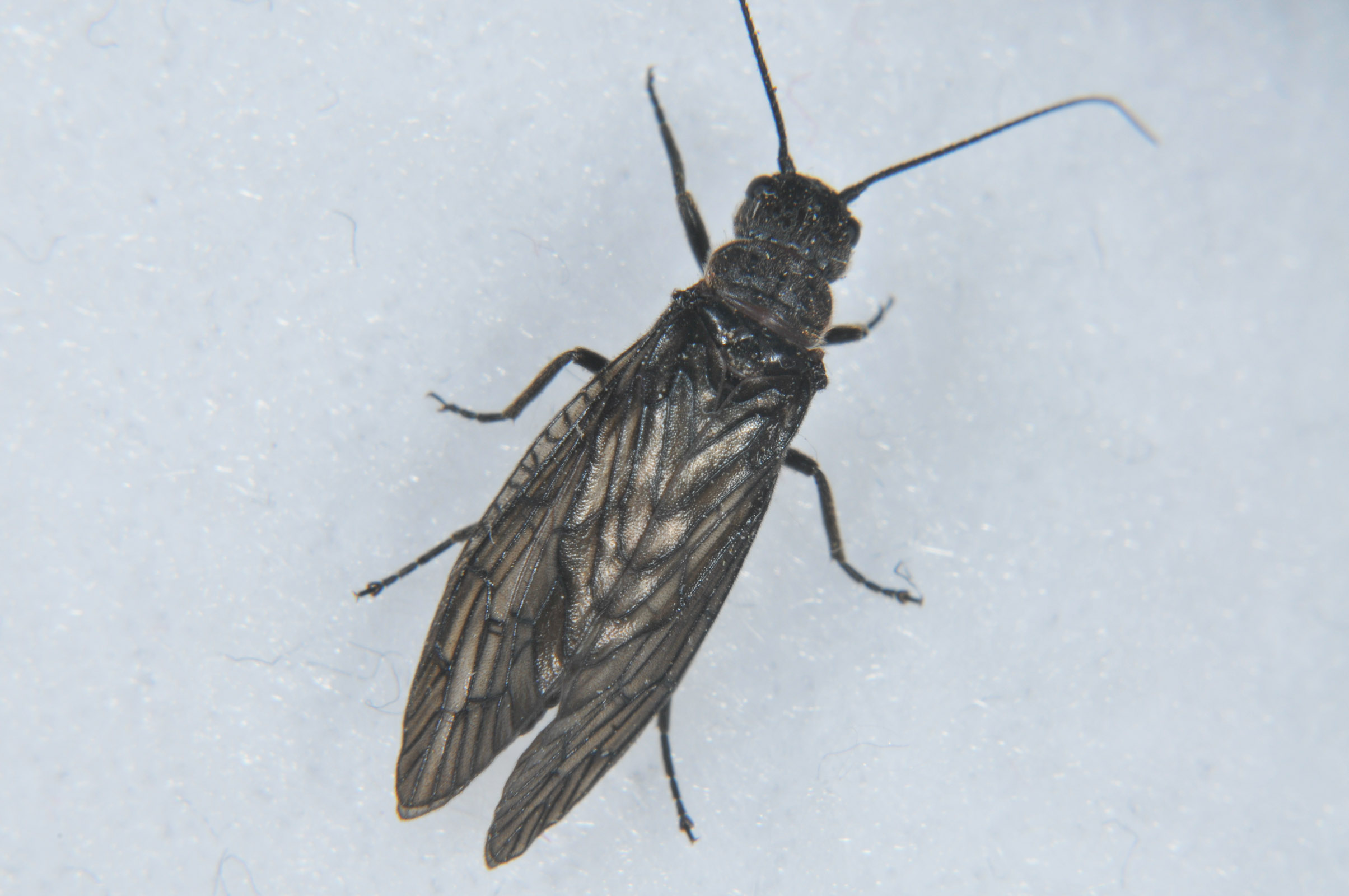 Male Sialis hamata Alderfly Adult from the  Touchet River in Washington