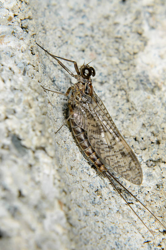 Male Ameletus vernalis (Brown Dun) Mayfly Dun from the  Touchet River in Washington