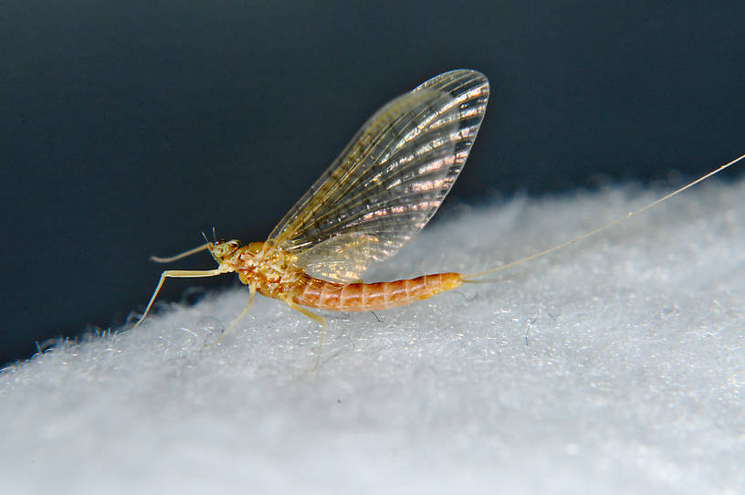Female Cinygmula mimus Mayfly Spinner from the  Touchet River in Washington