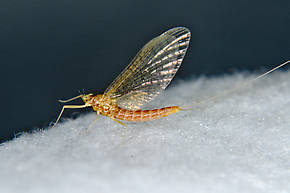 Female Cinygmula mimus  Mayfly Spinner
