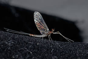 Male Paraleptophlebia memorialis  Mayfly Spinner