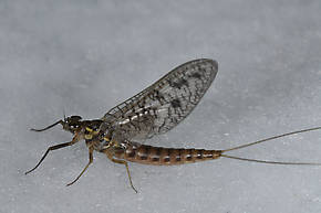 Female Ameletus oregonensis (Brown Dun) Mayfly Spinner