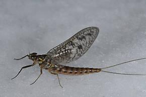 Female Ameletus oregonensis (Brown Dun) Mayfly Spinner