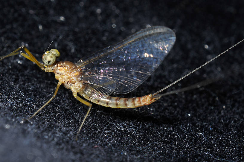 Male Heptagenia adaequata Mayfly Spinner from the  Columbia River in Washington