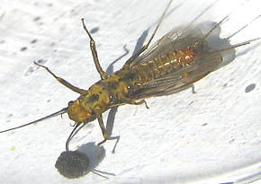 Female Skwala curvata (Large Springfly) Stonefly Adult