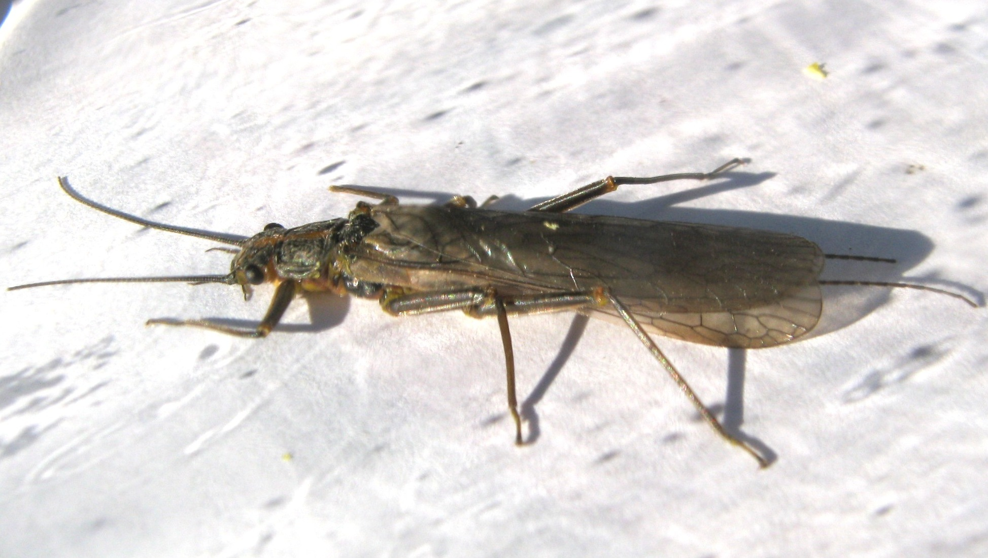 Female Skwala curvata (Large Springfly) Stonefly Adult from the Lower Yuba River in CA
