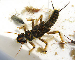 Hesperoperla pacifica (Golden Stone) Stonefly Nymph
