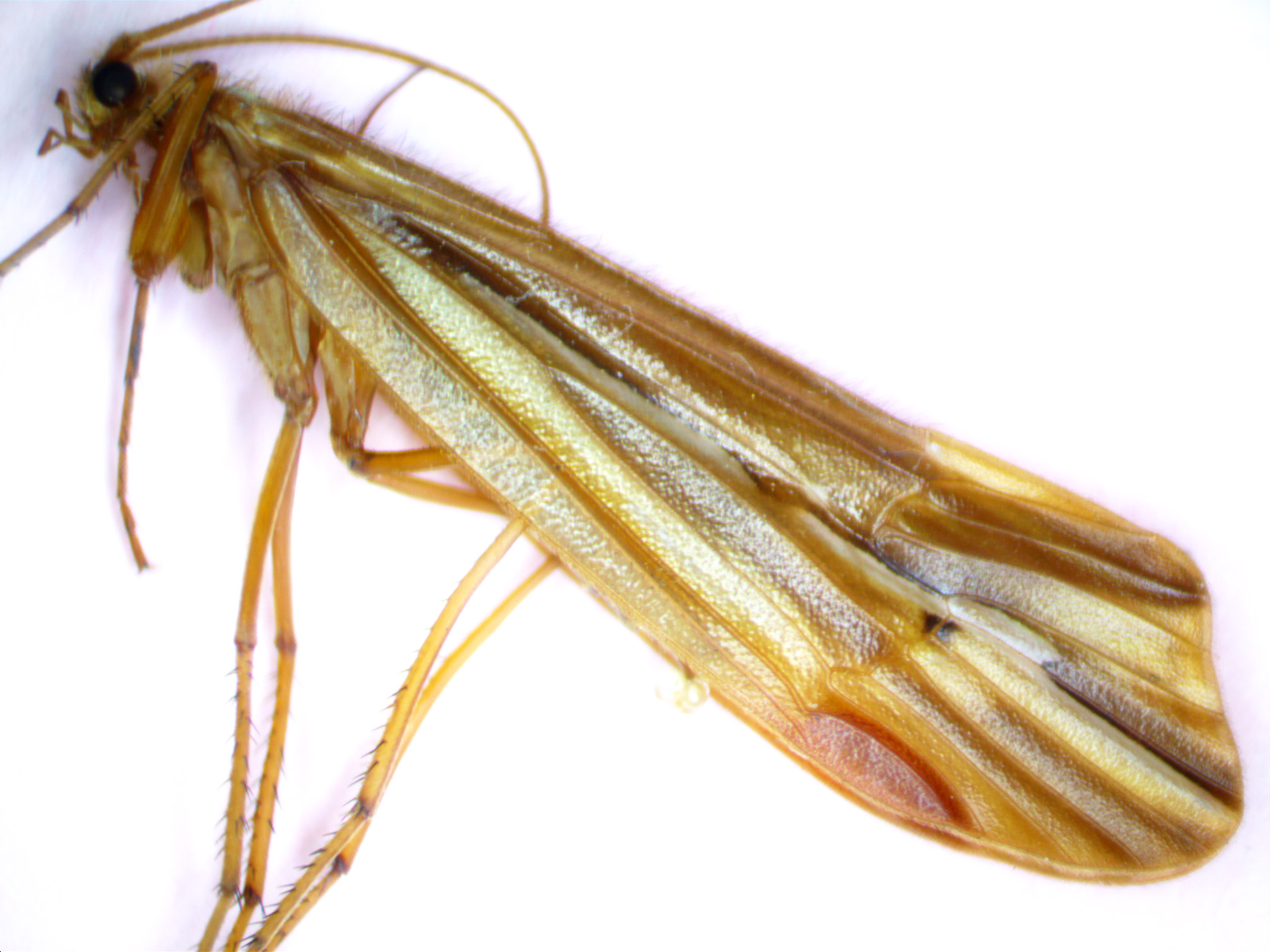 Male Psychoglypha (Snow Sedges) Caddisfly Adult from Spring Brook in WA
