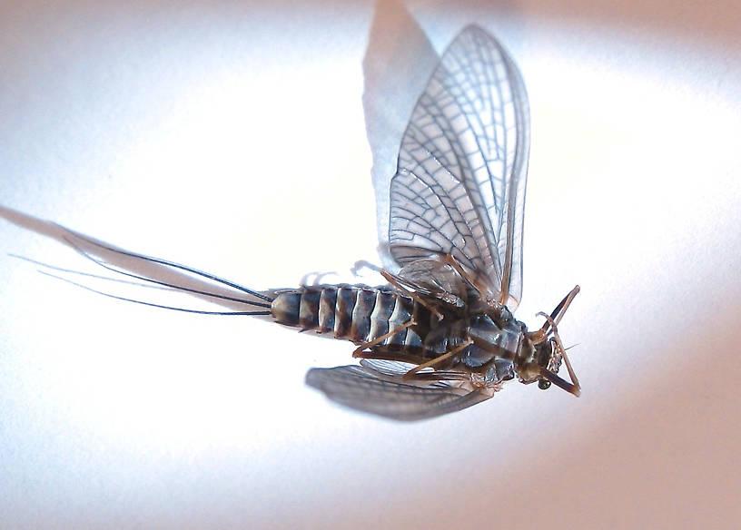 Female Timpanoga hecuba (Great Red Quill) Mayfly Dun from Mystery Creek #178 in Idaho