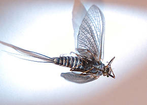 Female Timpanoga hecuba (Great Red Quill) Mayfly Dun