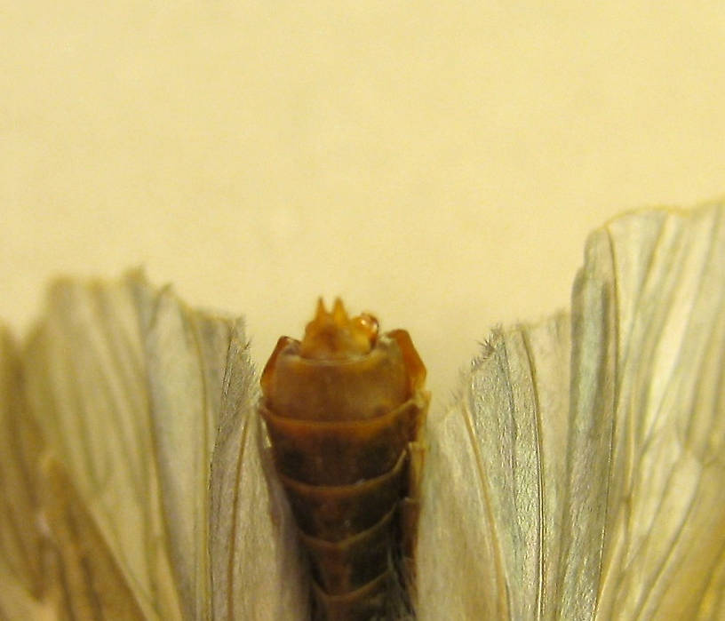 Female Dicosmoecus atripes (Giant Orange Sedge) Caddisfly Adult from the St. Joe River in Idaho