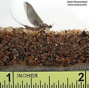 Male Ephemerella subvaria (Hendrickson) Mayfly Dun