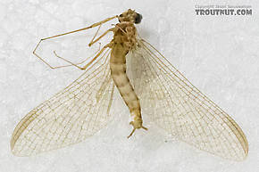 Male Cinygmula ramaleyi (Small Western Gordon Quill) Mayfly Spinner