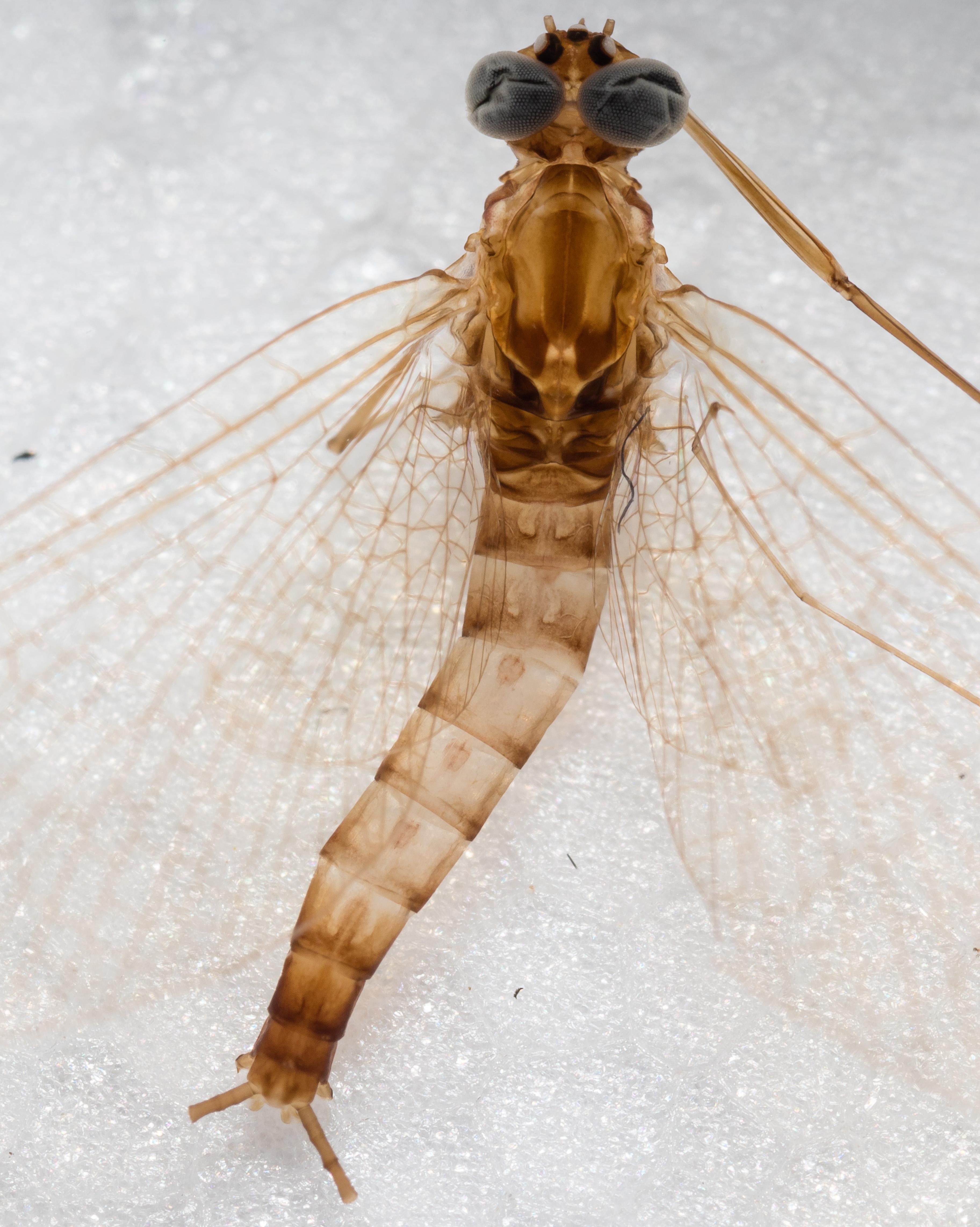 Male Cinygmula ramaleyi (Small Western Gordon Quill) Mayfly Spinner from Mystery Creek #186 in Alaska