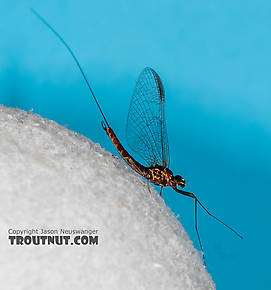 Male Rhithrogena morrisoni (Western March Brown) Mayfly Spinner