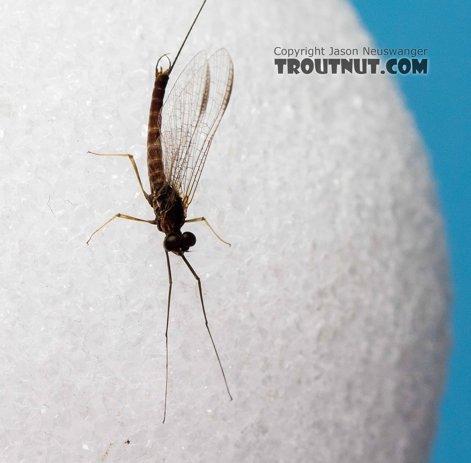 Male Rhithrogena morrisoni (Western March Brown) Mayfly Spinner from the South Fork Snoqualmie River in Washington