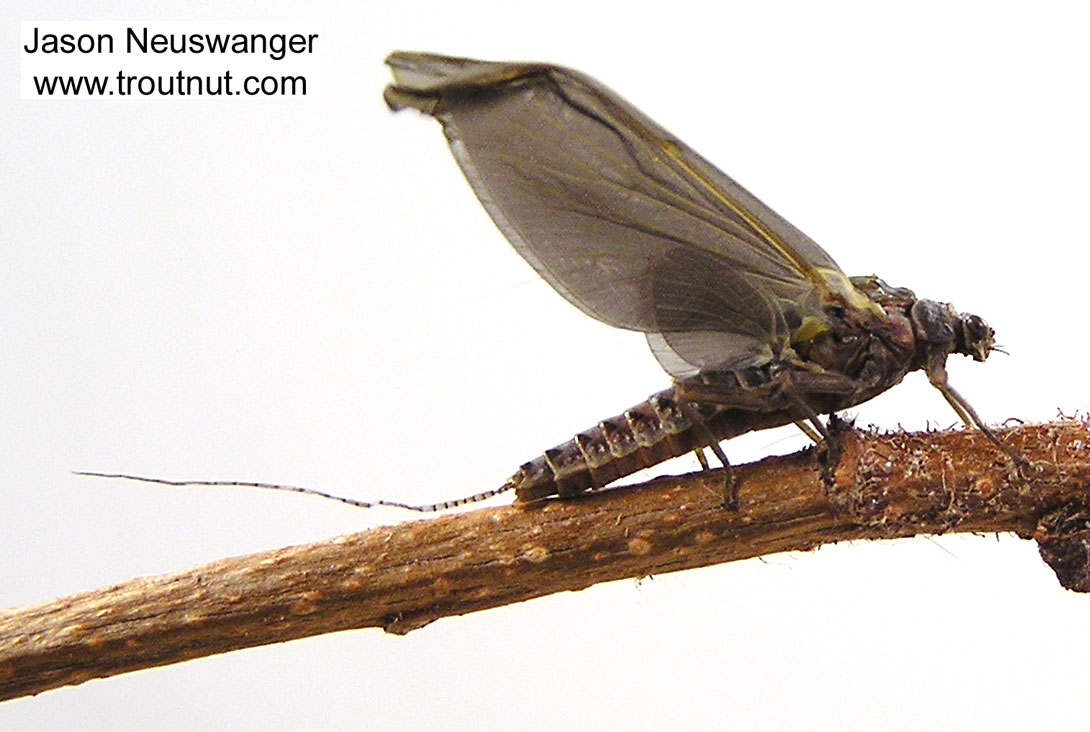 Female Ephemerella subvaria (Hendrickson) Mayfly Dun from the Namekagon River in Wisconsin