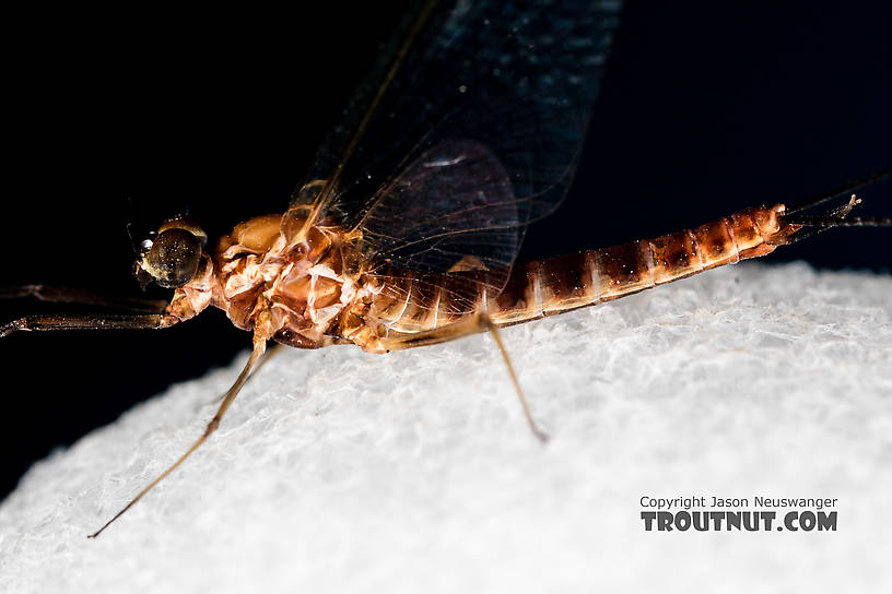 Male Rhithrogena virilis Mayfly Spinner from the South Fork Sauk River in Washington