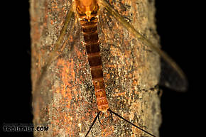 Male Rhithrogena virilis  Mayfly Spinner