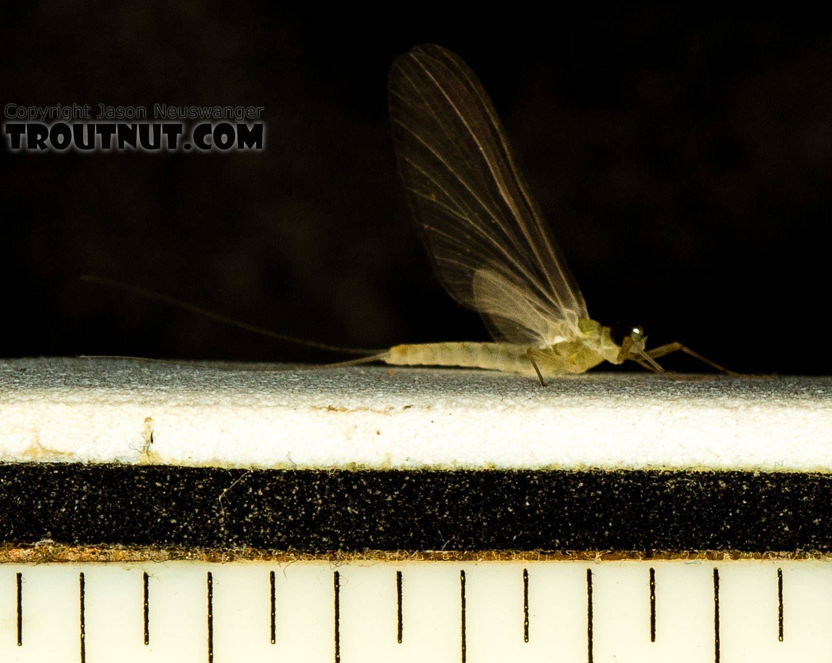 """Tick marks are 1/16""""  Male Epeorus (Little Maryatts) Mayfly Dun from the South Fork Sauk River in Washington"""