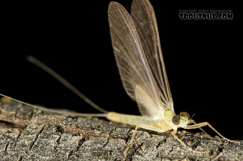 Male Epeorus (Little Maryatts) Mayfly Dun from the South Fork Sauk River in Washington