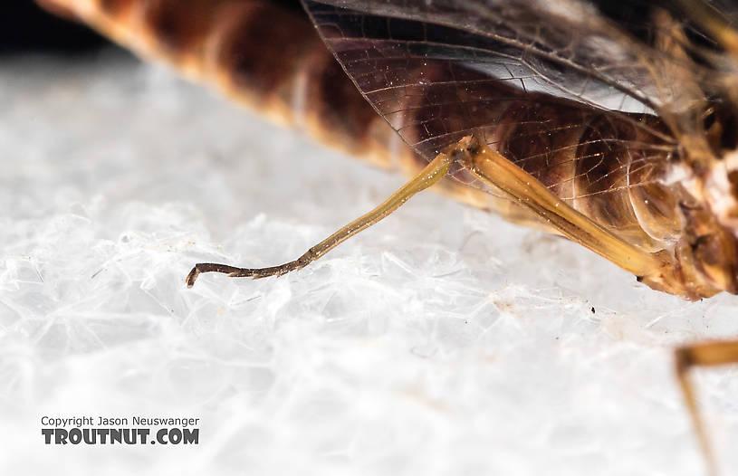 Male Rhithrogena virilis Mayfly Spinner from the South Fork Sauk River in Washington