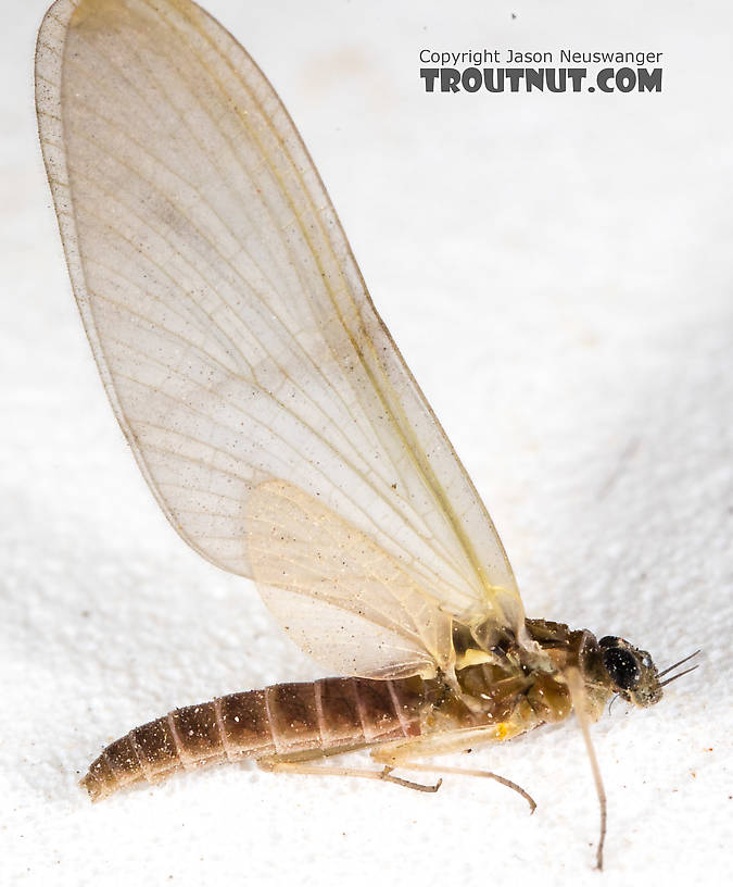 Female Epeorus (Little Maryatts) Mayfly Dun from the South Fork Sauk River in Washington