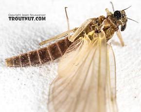 Female Epeorus (Little Maryatts) Mayfly Dun