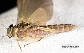 Female Epeorus (Little Maryatts) Mayfly Dun