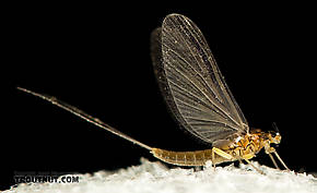 Baetidae (Blue-Winged Olives) Mayfly Dun