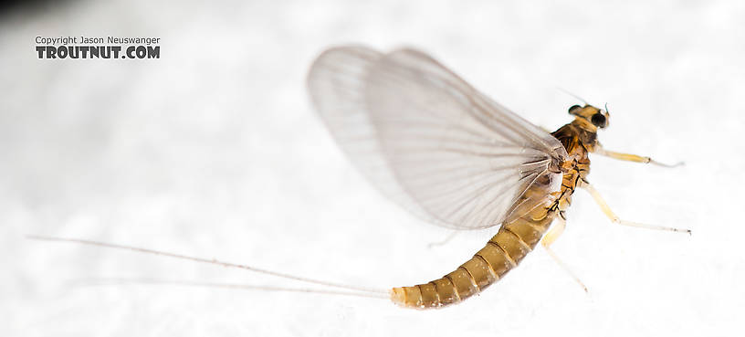 Female Baetidae (Blue-Winged Olives) Mayfly Dun from the North Fork Stillaguamish River in Washington