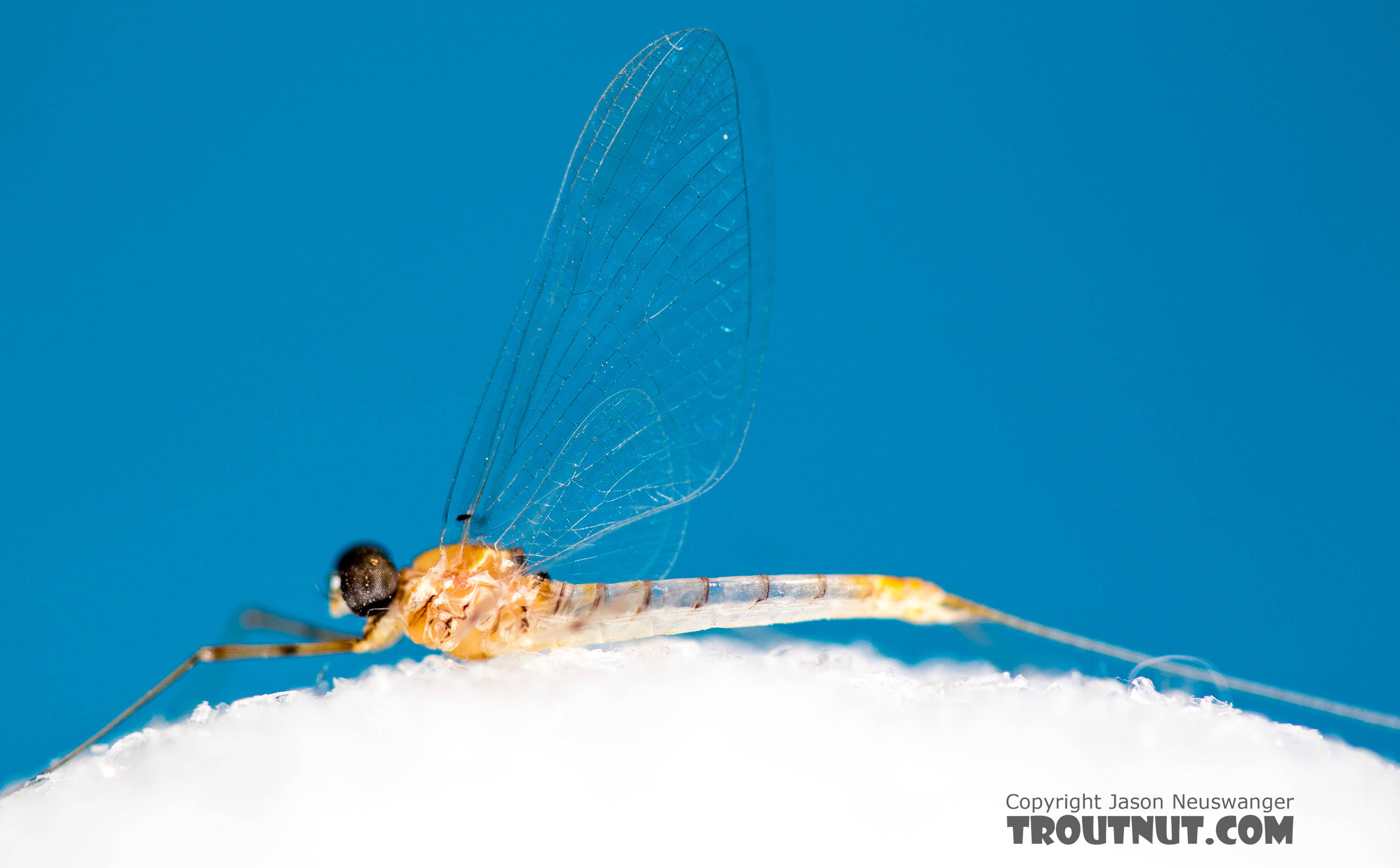 Male Epeorus albertae (Pink Lady) Mayfly Spinner from the North Fork Stillaguamish River in Washington