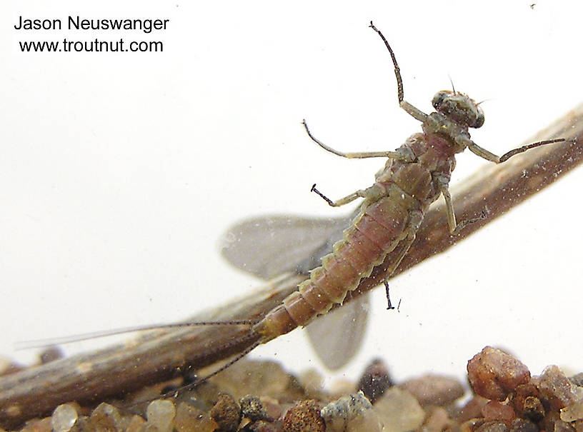 Male Ephemerella subvaria (Hendrickson) Mayfly Dun from the Namekagon River in Wisconsin