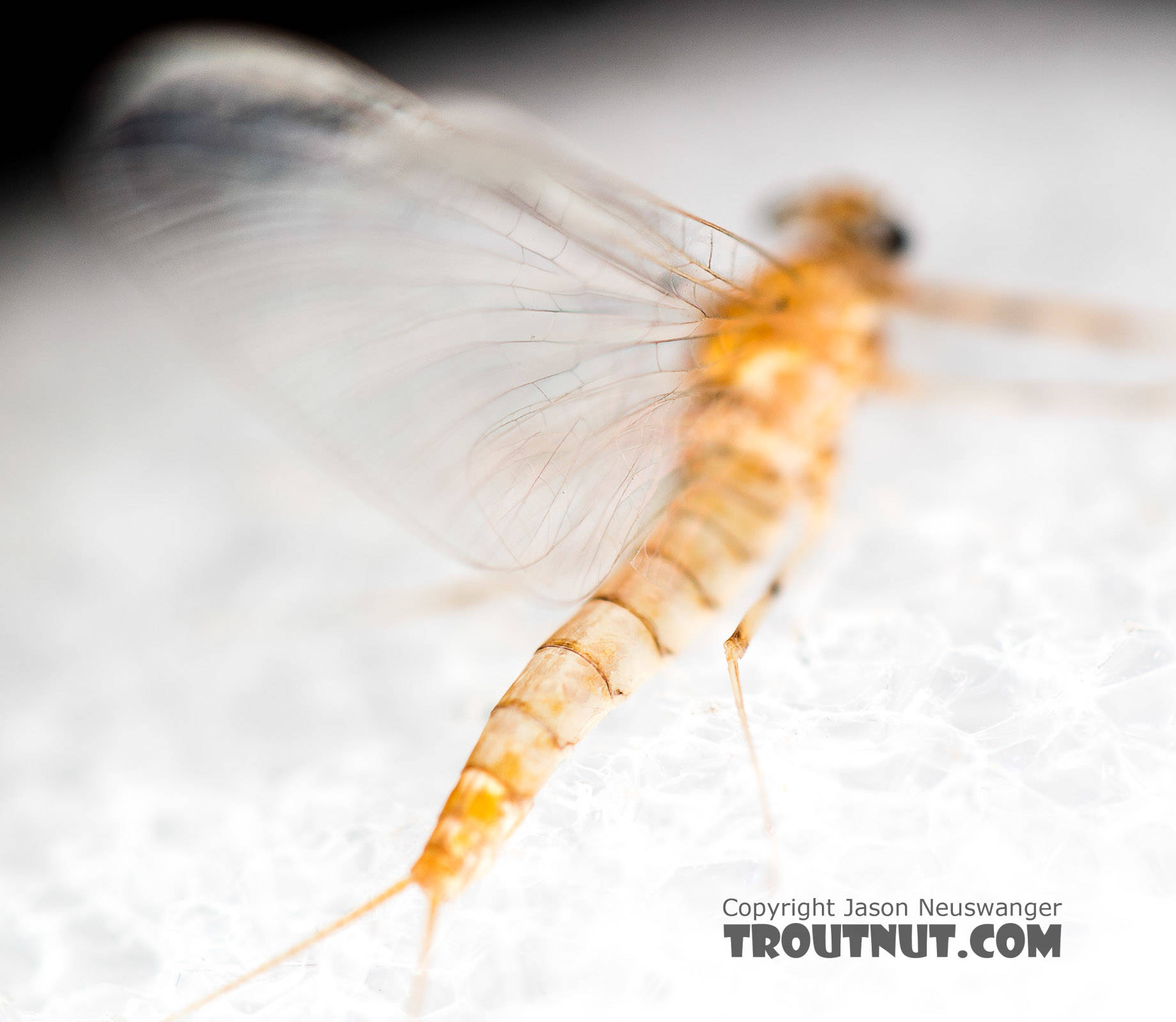 Female Epeorus albertae (Pink Lady) Mayfly Spinner from the North Fork Stillaguamish River in Washington