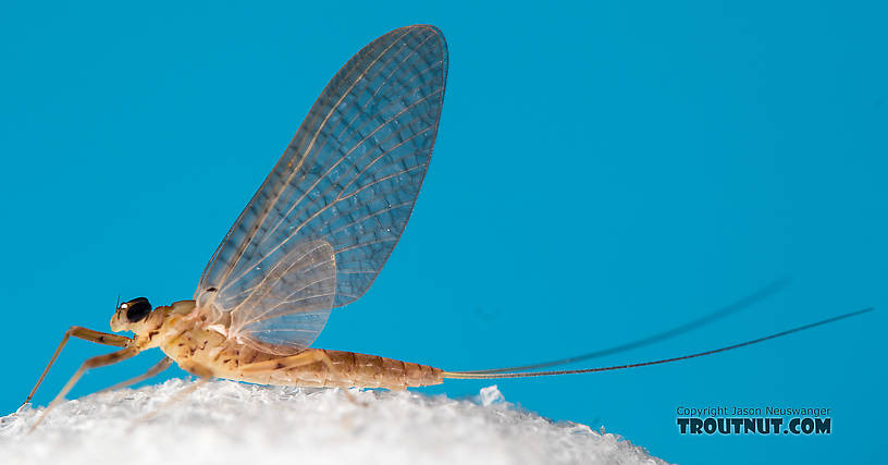Female Epeorus albertae (Pink Lady) Mayfly Dun from the North Fork Stillaguamish River in Washington