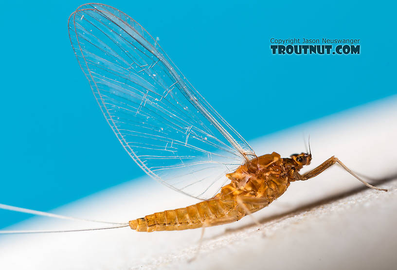Female Acentrella turbida (Tiny Blue-Winged Olive) Mayfly Spinner from the Middle Fork Snoqualmie River in Washington