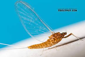 Female Acentrella turbida (Tiny Blue-Winged Olive) Mayfly Spinner