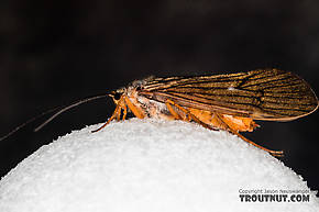 Female Dicosmoecus gilvipes (October Caddis) Caddisfly Adult