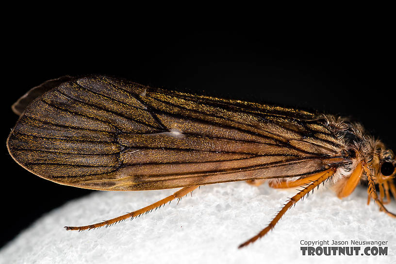 Female Dicosmoecus gilvipes (October Caddis) Caddisfly Adult from the South Fork Snoqualmie River in Washington