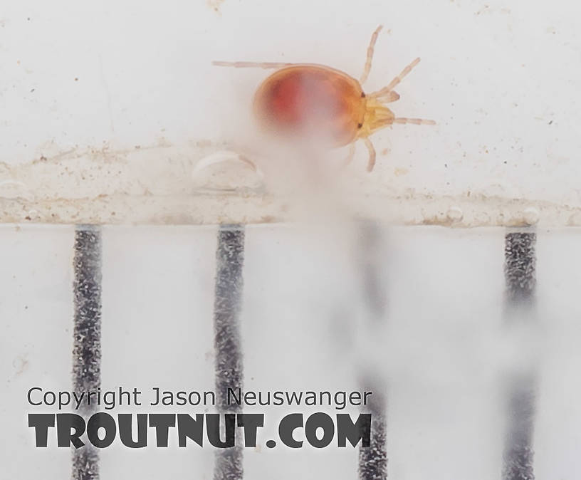The black bars are 1 mm marks.  Acari (Mites) Mite Adult from the South Fork Snoqualmie River in Washington